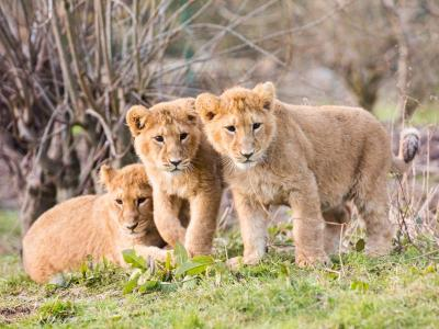 Fota - Baby cubs
