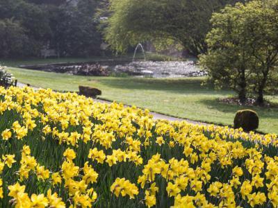 Gliffaes Daffodils