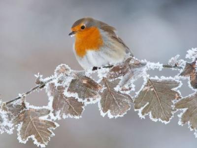 Winter Image Robin